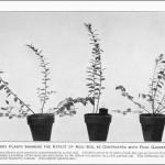 Dezoltarea diferită a plantelor in sol acid și în sol fértil de grădină (ghiveciul mic așezat pe ghiveciul din mijloc)