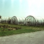 Sectorul pentru îmulţirea la scară industrială a afinului de la Bilcesti în anii 80